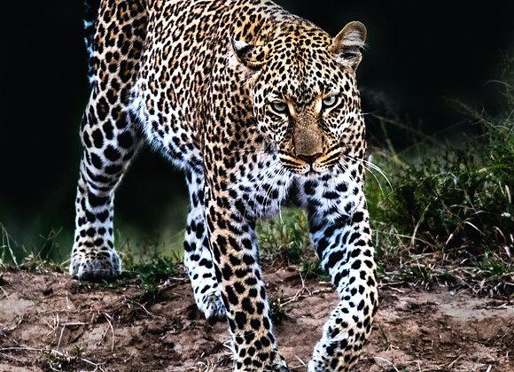 Leopard Encounter