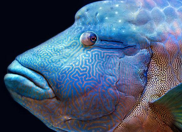 Maori wrasse Fish