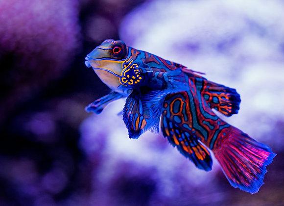 Pretty MandarinFish