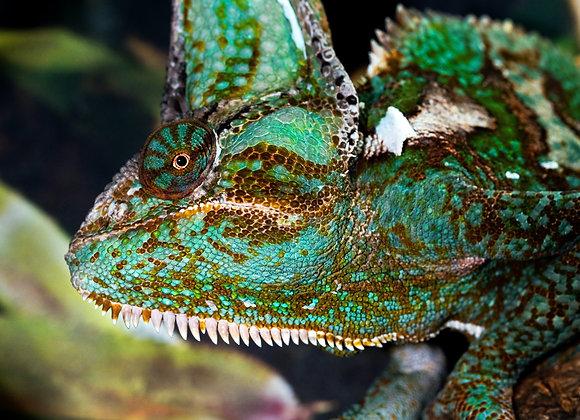 A Veiled Chameleon