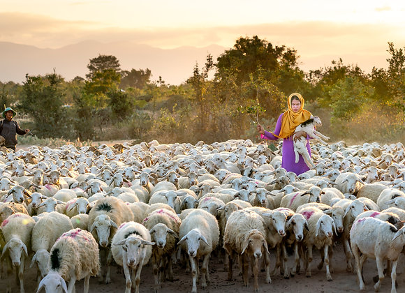 Shepherdess tending her sheep