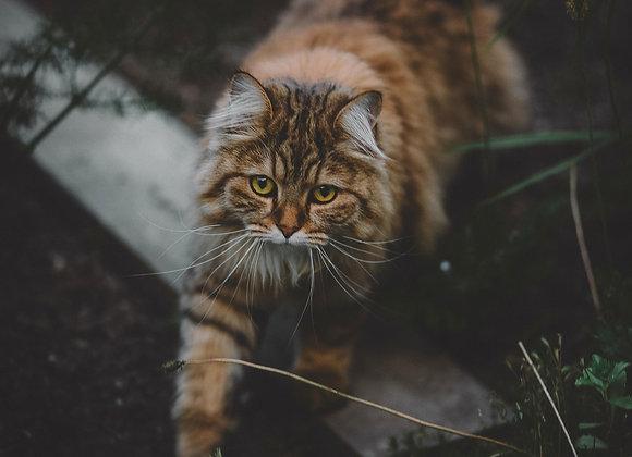 Prowling cat