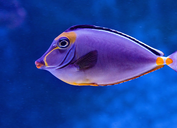 Lipstick Tang Fish