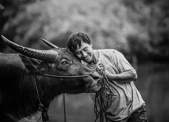 Cow love
