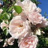 rosen 2.JPG