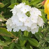 weisse Blume 1.JPG