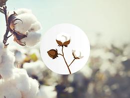 BCI Cotton.png