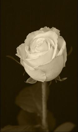 T1080 Antique rose_tcBLEED.jpg