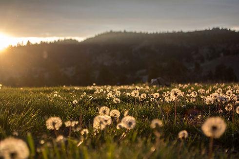 dandelions1.jpg