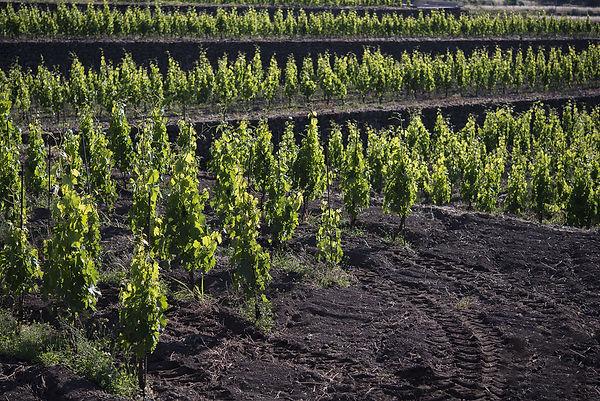 Sicily-Volcanic-vineyard-1-2.jpg