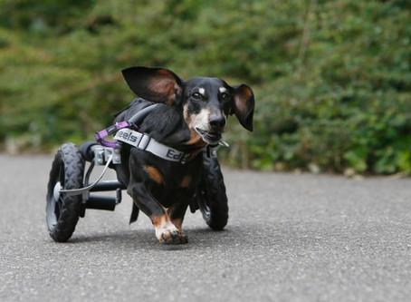 Rolstoelteckel Zazou: 'Leukste hond van Nederland'