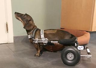 Hondenrolstoel voor een Teckel