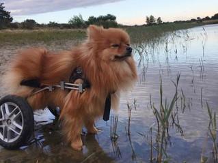 Een hondenrolstoel is geen rollende stoel