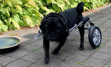 Hondenrolstoel voor een Mopshond
