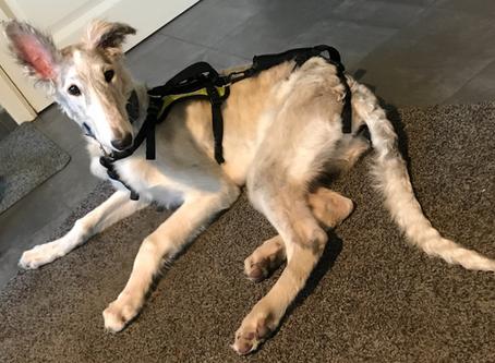 Sya: een hond met Ataxie