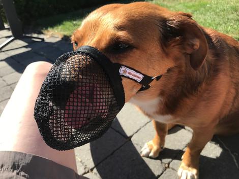 Voorkom vergiftiging van je hond met behulp van een muilkorf