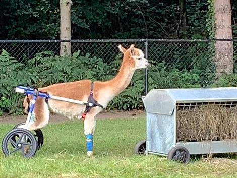 Aster: een Alpaca in een rolstoel
