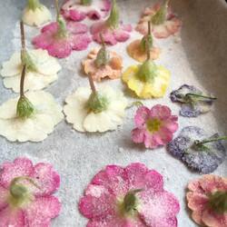 edible sugared primula flowers