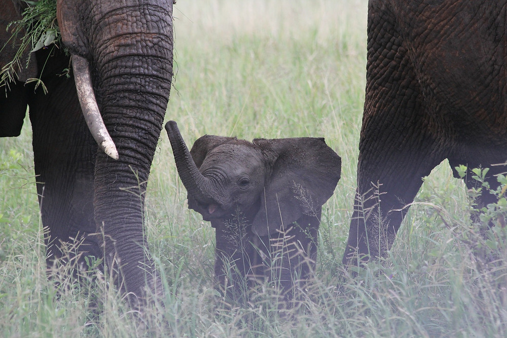 Baby elephant in Tarangire National Park, Tanzania