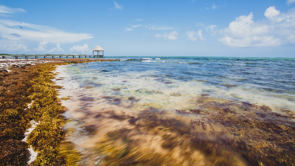 sargassum in the surf in Tulum, Mexico. A pier in the background