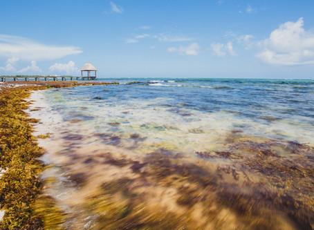 Is there a Sargassum Season? Fighting seaweed in Mexico and the Caribbean