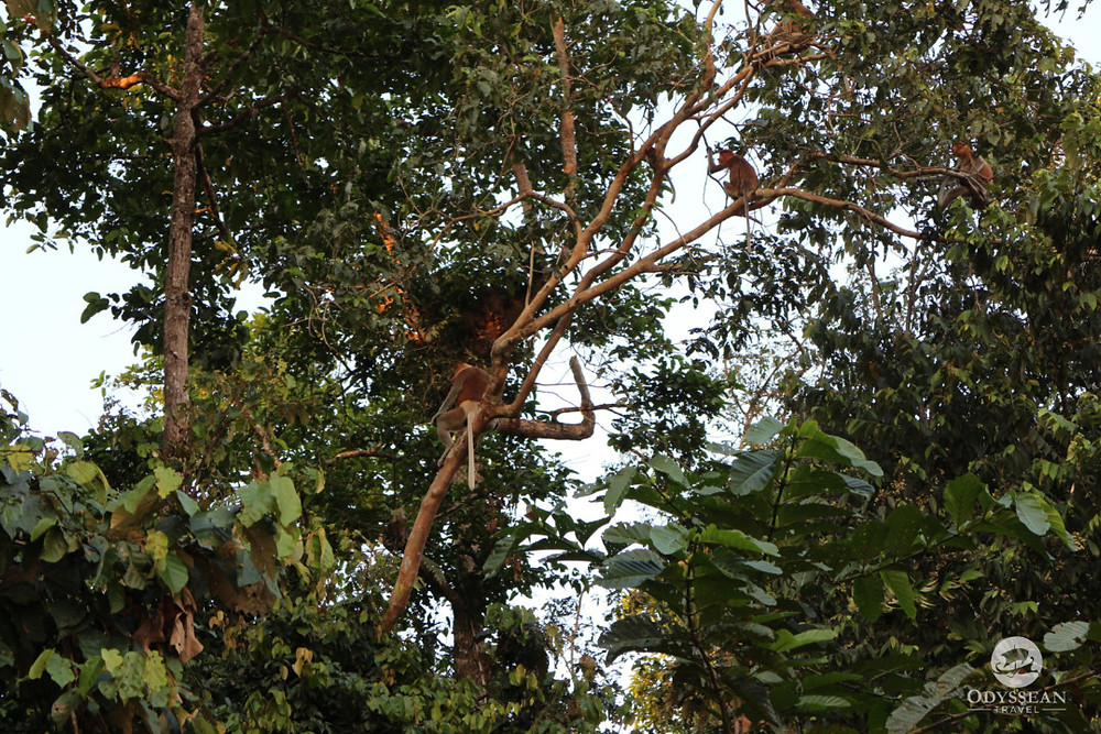 Tree full of proboscis monkeys, Kinabatangan River in Borneo