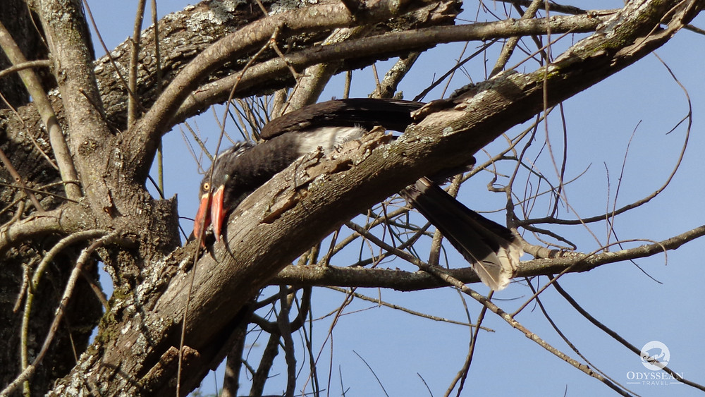 African hornbill grooms a twig for a nest