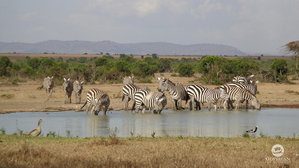 zebras drinking at a watering hole in Kenya