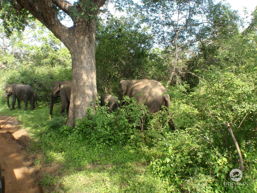 Small herd of elephants emerge from bushes in Yala National Park, Sri Lanka