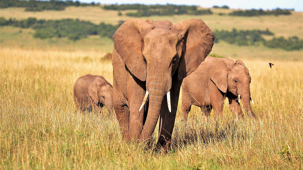 Elephants marching the plains of Africa