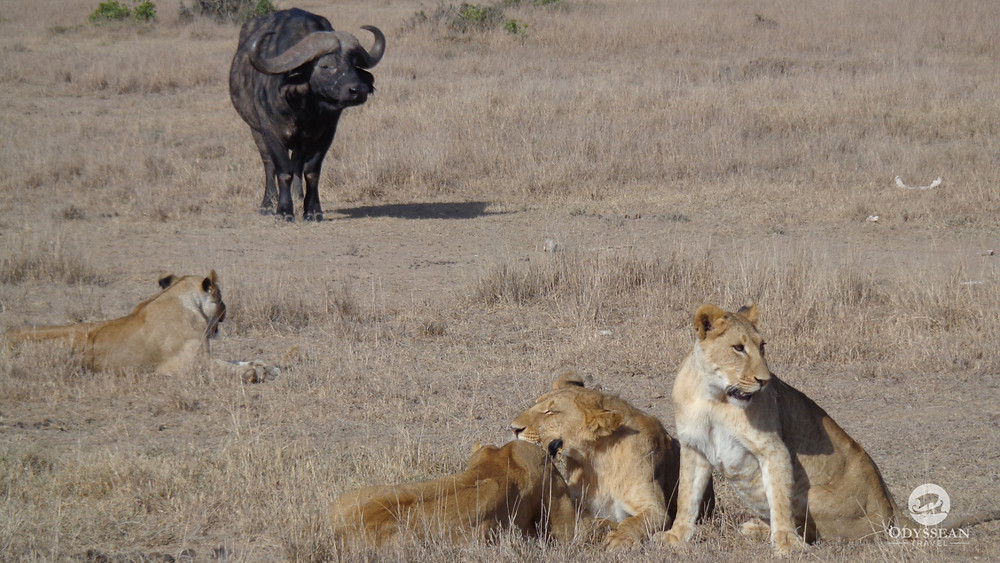 lions laying in the sun by a water buffalo