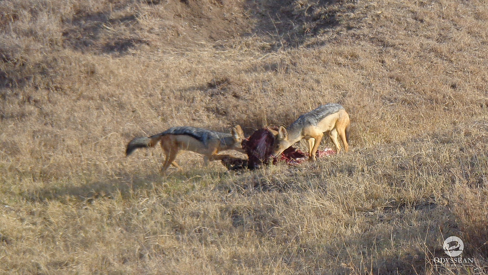 Two jackals sneaking a quick mouthful of carrion before lions or hyenas arrive