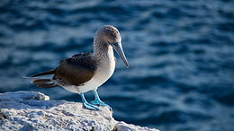 Blue Footed Booby of the Galapagos Islands