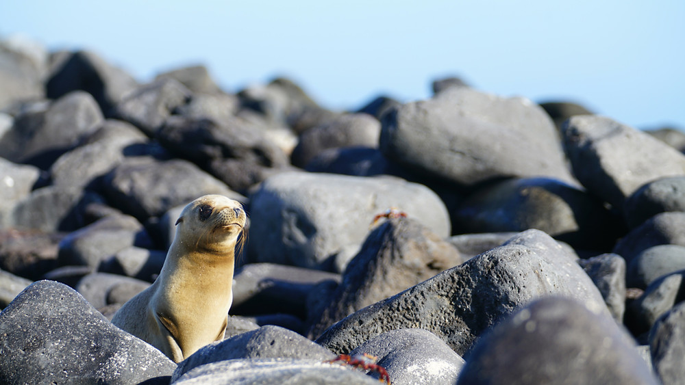 A sea lion pup on the shore of the Galapagos Islands