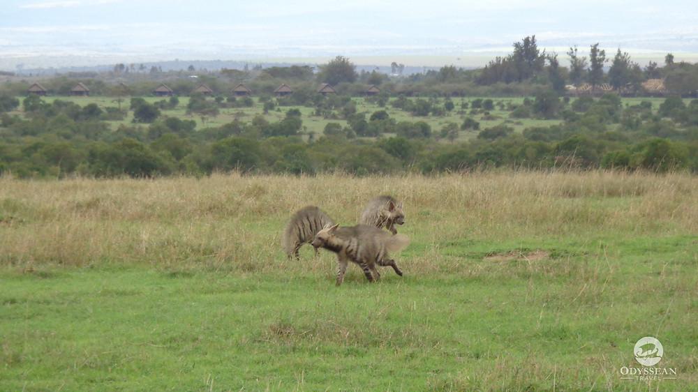 3 young striped hyenas playing at Ol Pejeta Conservancy, Kenya