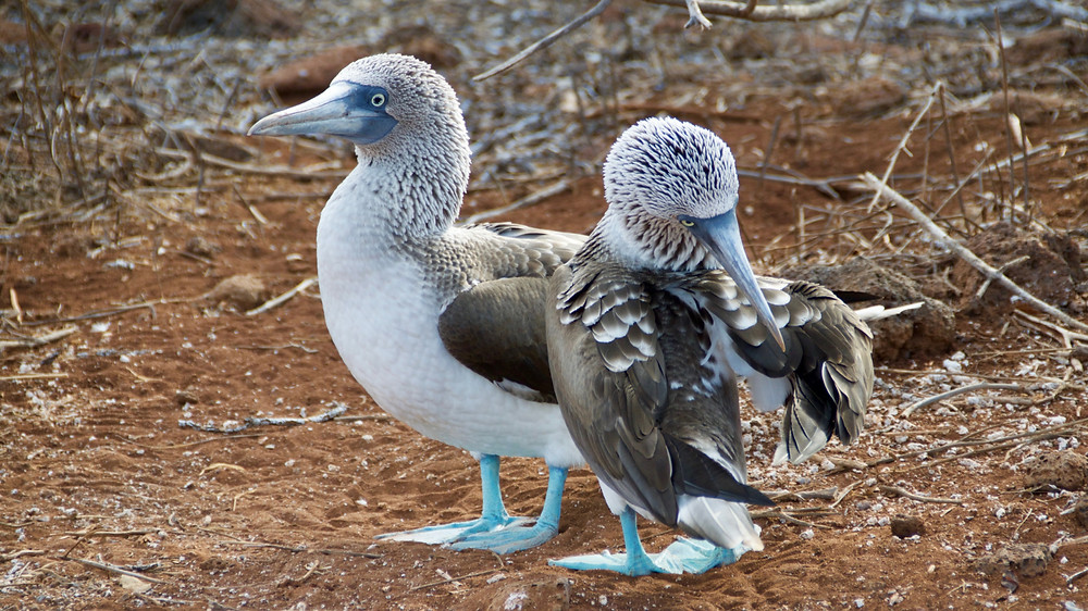 A pair of blue-footed boobies on the shores of the Galapagos Islands