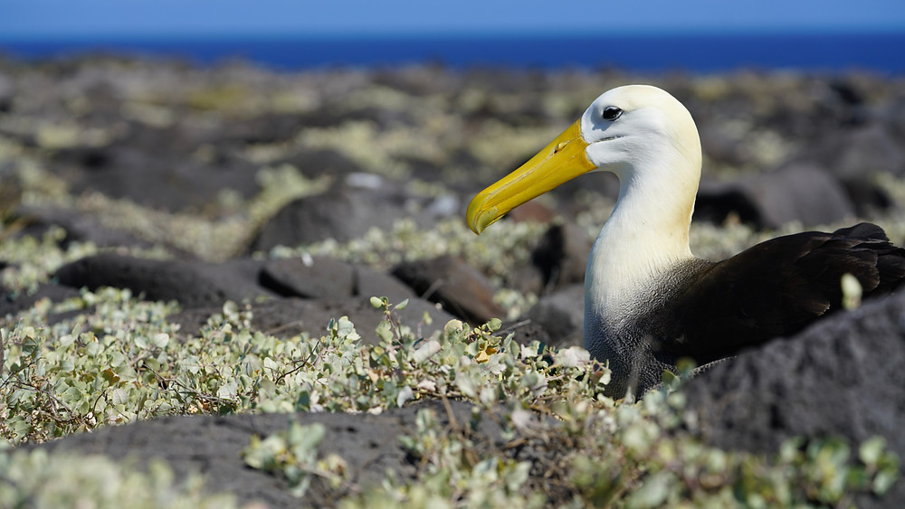 A waved albatross on the ground and which might be nesting in the Galapagos. Best seen during an outer loop itinerary on the Celebrity Flora