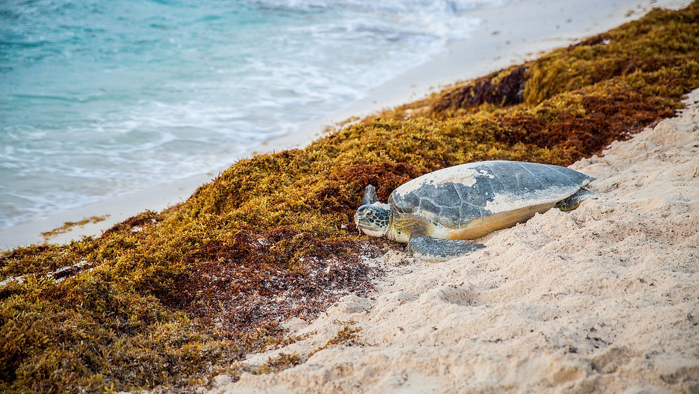 sea turtle returning to the sea over sargassum, having nested on the beach