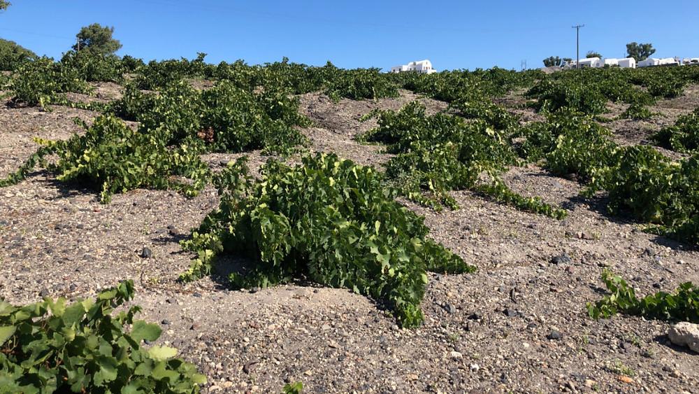 Shrunken grape vines of Santorini are specially cultivated