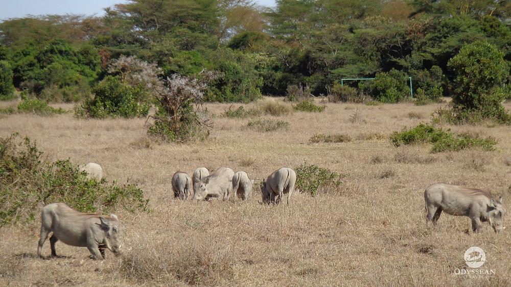 warthogs grazing on a soccer field in Kenya