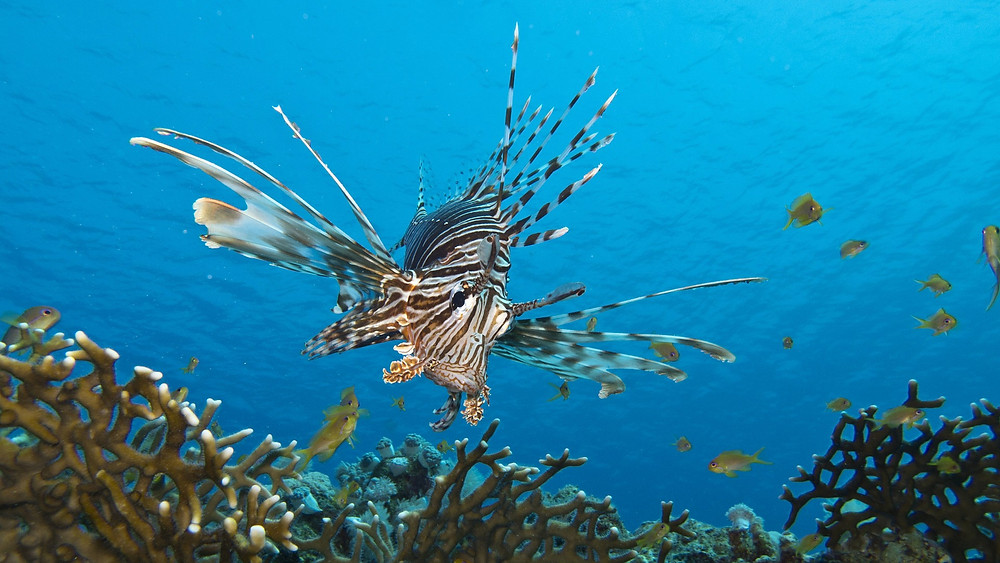 Lionfish swimming in a reef