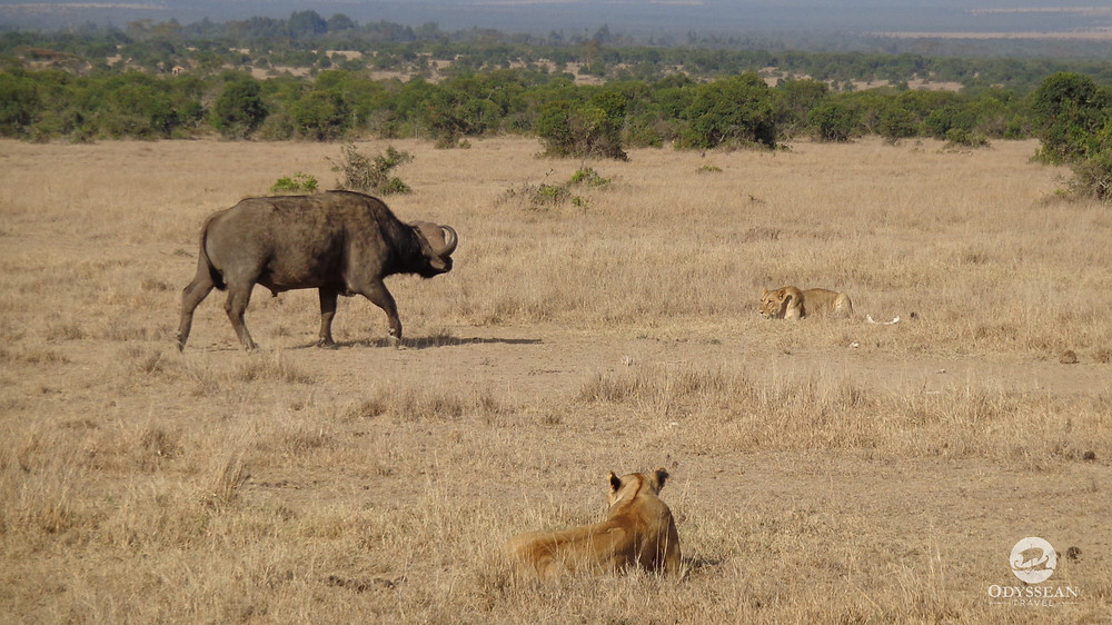 water buffalo faces off with a lion
