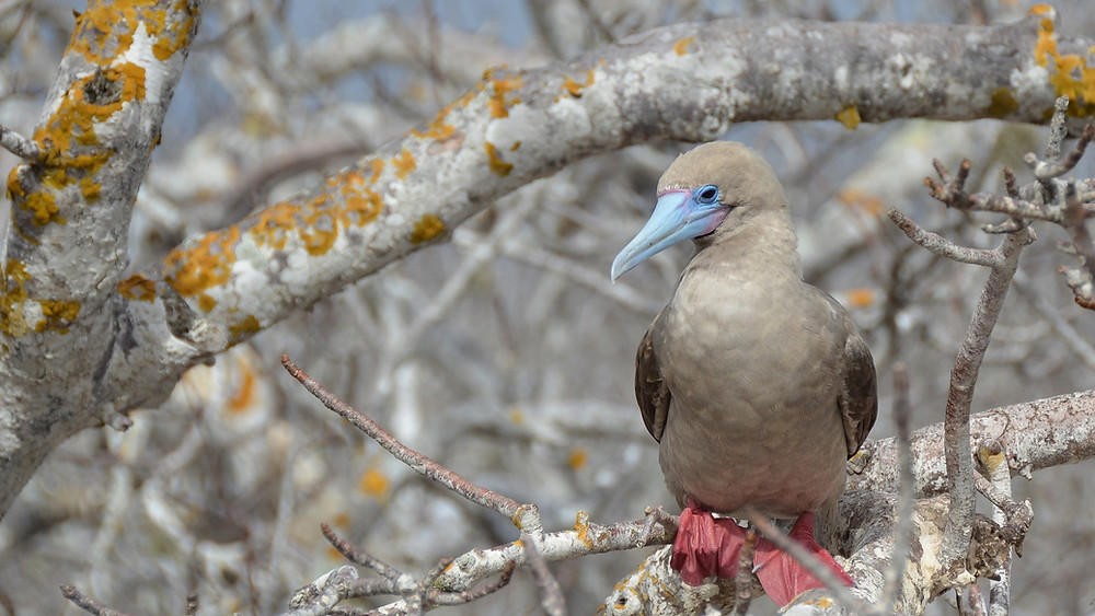 A red-footed booby in a tree seen during an inner loop itinerary on the Celebrity Flora Galapagos Islands cruise