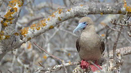 Red Footed Booby of the Galapagos Islands