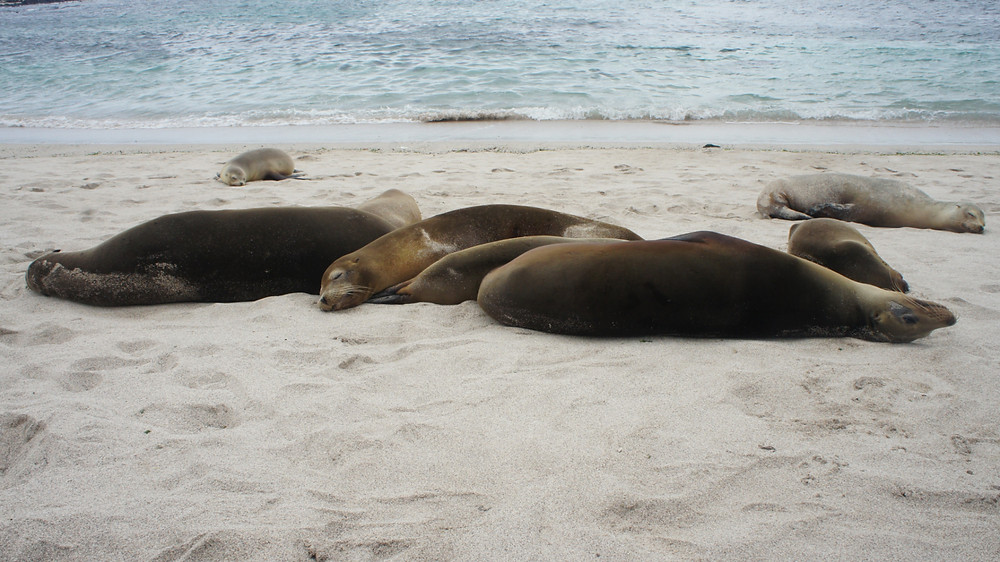 Sea lions lying on the beach in the Galapagos Islands