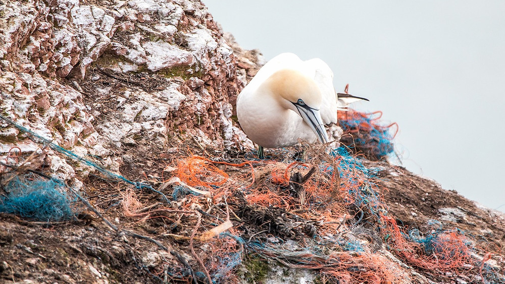 A gannett nests with plastic garbage and other waste near the coast of Germany