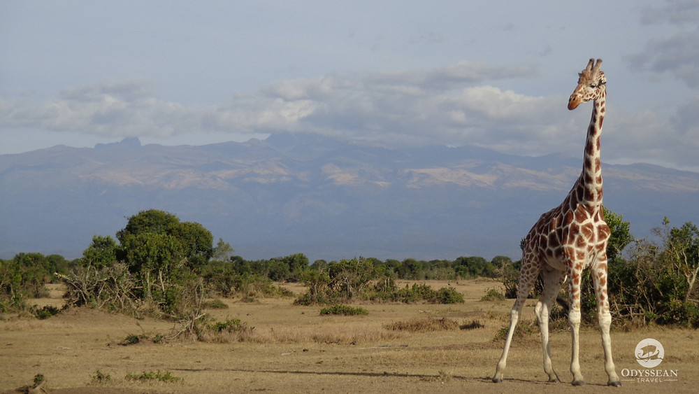 A giraffe in the plains and foothills of Mount Kenya