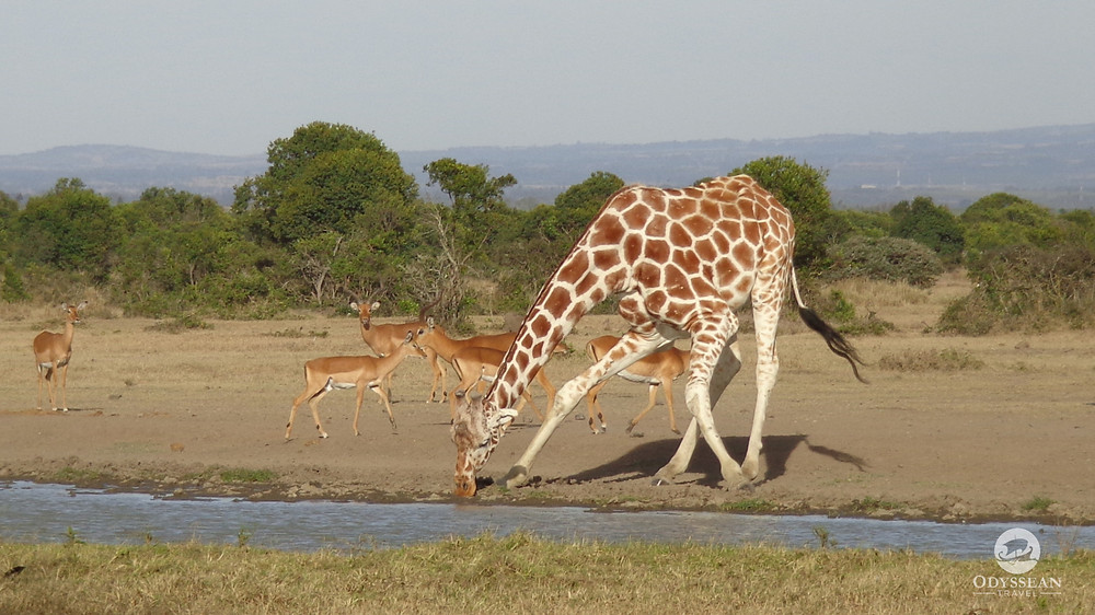 a giraffe bends down to drink water