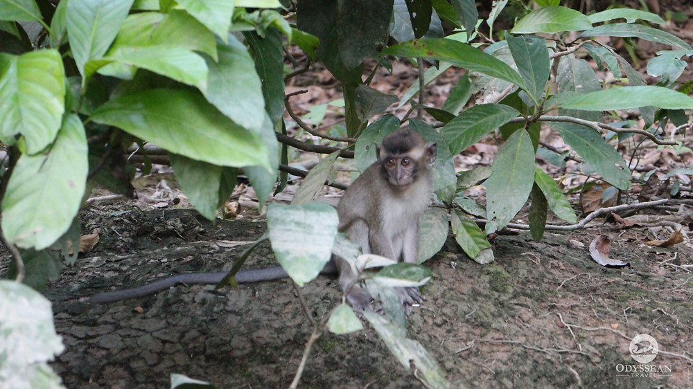 Baby macaque by the river's edge in Borneo