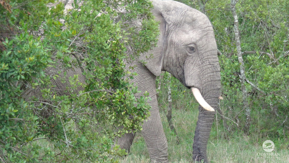 wild elephant with tusks emerges from the bushes in Kenya